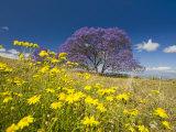 Jacaranda Tree in Bloom in a Field of Wildflowers (Jacaranda Mimosifolia)  Maui  Hawaii