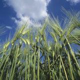 Looking Up at Ears of Barley Ears Against a Blue Summer Sky (Hordeum Vulgare)