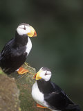 Horned Puffins  Fratercula Corniculata  St Paul Island  Pribilof Islands  Alaska  USA