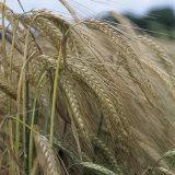 Ripening Barley Ears (Hordeum Vulgare)