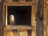 Barn Owl (Tyto Alba) in Barn Window  a Threatened Species  North America