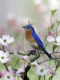 Male Eastern Bluebird in Flowering Dogwood Tree (Sialia Sialis)  North America Missouri State Bird