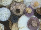Mushroom Cap Assortment Showing their Gills