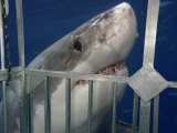 Great White Shark Investigating a Shark Cage (Carcharodon Carcharias)  Guadalupe Island  Mexico