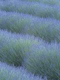 Pattern in Rows of Lavender  Avignon De Provence  France  Europe