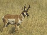 Male Pronghorn  Antilocapra Americana  North American Grasslands