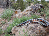 A Sonoran Mountain Kingsnake  Lampropeltis Pyromelana  Arizona  USA