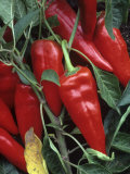 Peppers  Hot Shot Variety