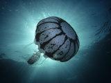 Purple Stripe Jellyfish  Pelagia Colorata  Pacific Grove  California