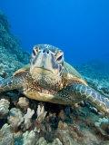Green Sea Turtle Head (Chelonia Mydas)  an Endangered Species  Hawaii  USA