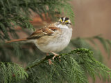 White-Throated Sparrow  Zonotrichia Albicollis  North America