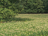 Tobacco Crop in Full Bloom  Nicotiana Tabacum  Bluegrass Region of Central Kentucky  USA