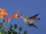Female Anna's Hummingbird  Calypte Anna  Feeding at a Flower  California  USA