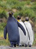 Melanistic and Normal King Penguins  Aptenodytes Patagonicus   South Georgia Islands