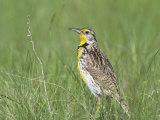 Western Meadowlark in Prairie Grasses (Sturnella Neglecta)  North America