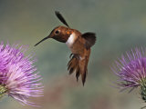 A Rufous Hummingbird Hovering at a Thistle Flower (Selasphorus Rufus)  New Mexico  USA