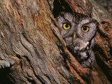 Eastern Screech Owl  Otus Asio  North America