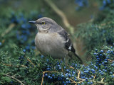 Northern Mockingbird in Red Cedar (Mimus Polyglottos)  North America