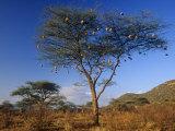 Numerous Weaver Nests in an Acacia Tree in the Savanna of Samburu Game Reserve  Kenya  Africa