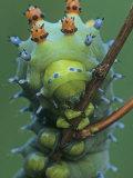Cecropia Moth Larva or Caterpillar Head-On View  Hyalophora Cecropia    Hyalophora Cecropia