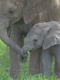 African Elephant Mother Holding its Baby's Trunk  Loxodonta Africana  East Africa