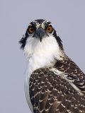 Osprey (Pandion Haliaetus)  North America