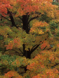 Maple Sugar Tree Changing to Fall Foliage (Acer Saccharum)  North America