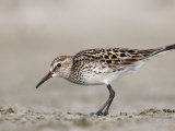 White-Rumped Sandpiper in Breeding Plumage (Calidris Fuscicollis) Florida  USA