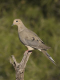 Mourning Dove (Zenaida Macroura) on a Snag  North America