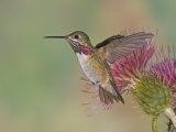 Calliope Hummingbird (Stellula Calliope)MaleSmallest Hummingbird Which Migrates to United States