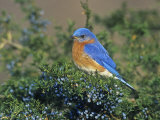 Male Eastern Bluebird (Sialia Sialis) on Juniper  North America Missouri State Bird