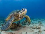 Green Sea Turtle (Chelonia Mydas)  an Endangered Species  Hawaii  USA
