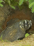 American Badger at its Den Opening  Taxidea Taxus  North America
