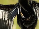 Close-Up of an Anhinga Grooming While Drying its Wings  Anhinga Anhinga  Florida  USA
