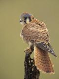 Female American Kestrel  Falco Sparverius  North America