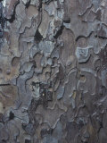 Bark of the Sugar Pine  Pinus Lambertiana  California  USA
