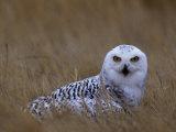 Female Snowy Owl  Nyctea Scandiaca  Standing in Dried Grass  North America