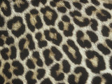 Spotted Pattern of African Leopard Fur  Panthera Pardus  East Africa