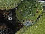 Green Tree Python Showing Pits  Chondropython Viridi  New Guina