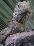 Grand Cayman Blue Iguana  Cyclura Nubila Lewisi  an Endangered Species  Grand Cayman Island