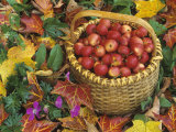 Basket of Harvested Columbia Crabapples Among Fall Leaves  Malus