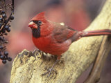 Male Northern Cardinal (Cardinalis Cardinalis) Near Wild Grape (Vitis) Berries  Eastern USA