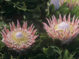 King Protea Flowers  Protea Cynaroides   Protea Flowers are the National Flowers of South Africa