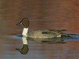 Northern Pintail Drake Swimming  Anas Acuta  North America