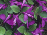 Fringed Polygala or Gaywings  Polygala Paucifolia  North America