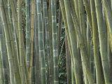 Bamboo Stems  Phyllostachys Atrovaginata