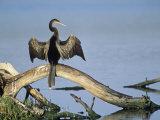 Anhinga (Anhinga Anhinga) Drying its Wings  Ding Darling National Wildlife Refuge  Florida  USA