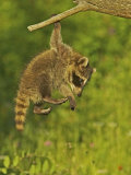 Common Raccoon (Procyon Lotor)Juvenile