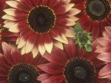 Sunflowers (Helianthus Annus)  Razzmatazz Variety