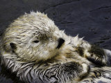 California Sea Otter (Enhydra Lutris)  California  USA